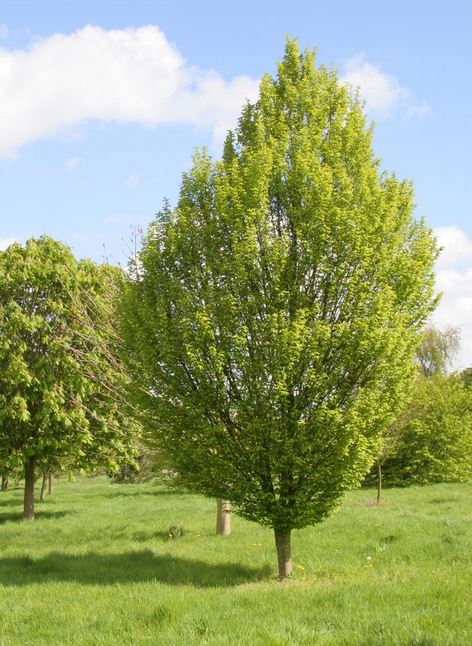 a z of garden trees c is for carpinus betulus old. Black Bedroom Furniture Sets. Home Design Ideas