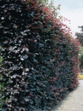 C. betulus 'Purpurea' as a hedge