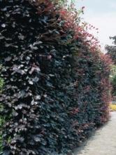 C. betulus 'Purpurea' as a hedge