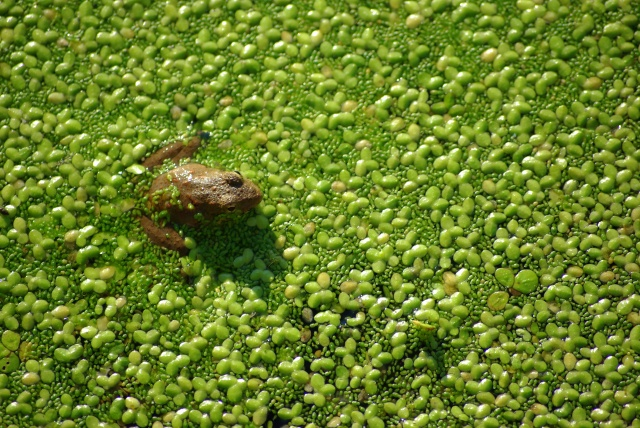 Frog_in_pond_among_aquatic_plants
