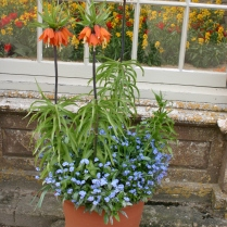 Crown fritillaries outside the 'orangery'