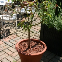 Newly potted Peach tree