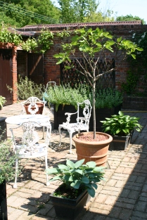 Courtyard garden with Fig