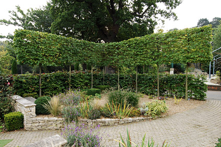 Pleached trees- picture RHS