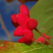 Unripened fruit