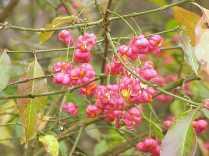 Ripe fruit clusters