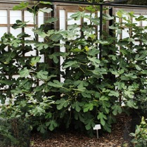A Fan- trained fig at RHS, Wisley. Picture RHS.