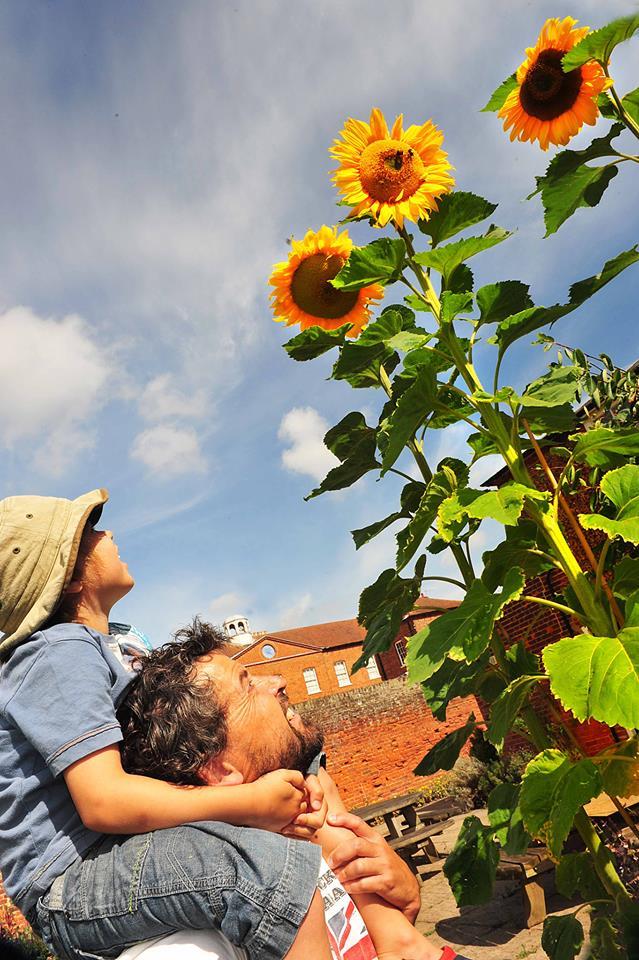 gressenhall sunflowers in curiosity corner