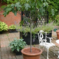 A -Z of Garden Trees: F is for Ficus carica