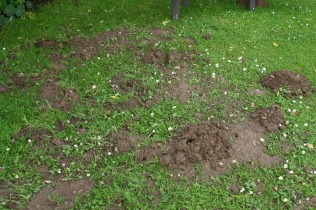 Moles are creating havoc across the lawn and into borders
