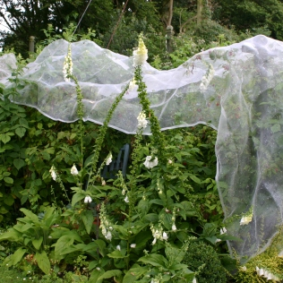 'Enviromesh' covering the raspberries from the birds- quite a succesful and easy way of reducing pest damage/theft!