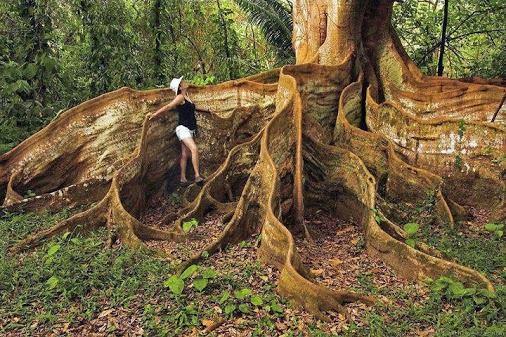 kapok tree via green reniassance