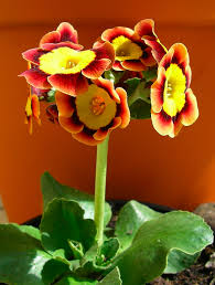 A Primula auricula- something for the 'Theatre' in Spring 2015?
