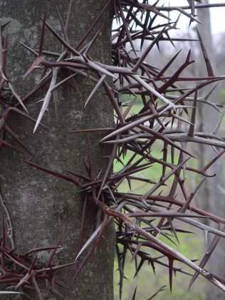 Gleditsia triacanthos- mature thorns