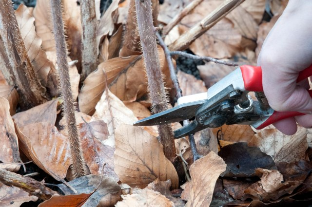 Cut down the canes of autumn fruiting raspberries in early March