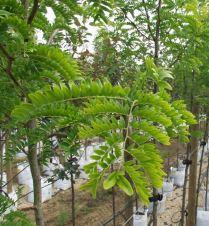 Gleditsia triacanthos 'Sunburst' foliage