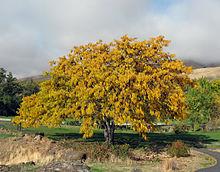 Gleditsia triacanthos - autumn colour