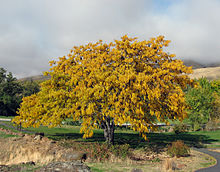 Gleditsia triacanthos - autumn colour