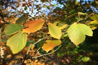 Hamamelis- Autumn leaves by Jean Pol Grandmont