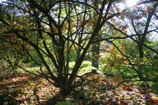 Autumn Hamamelis