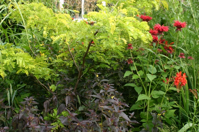 Gleditsia triacanthos 'sunburst' in Old School Garden- with Lysimachia ciliata 'Firecracker' in front and Monarda 'Cambridge Scarlet' and Crocosmia 'Lucifer'