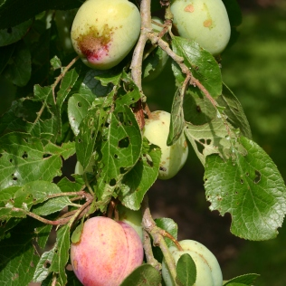 Good sized plums on this old tree in the orchard- I thinned them out in June.