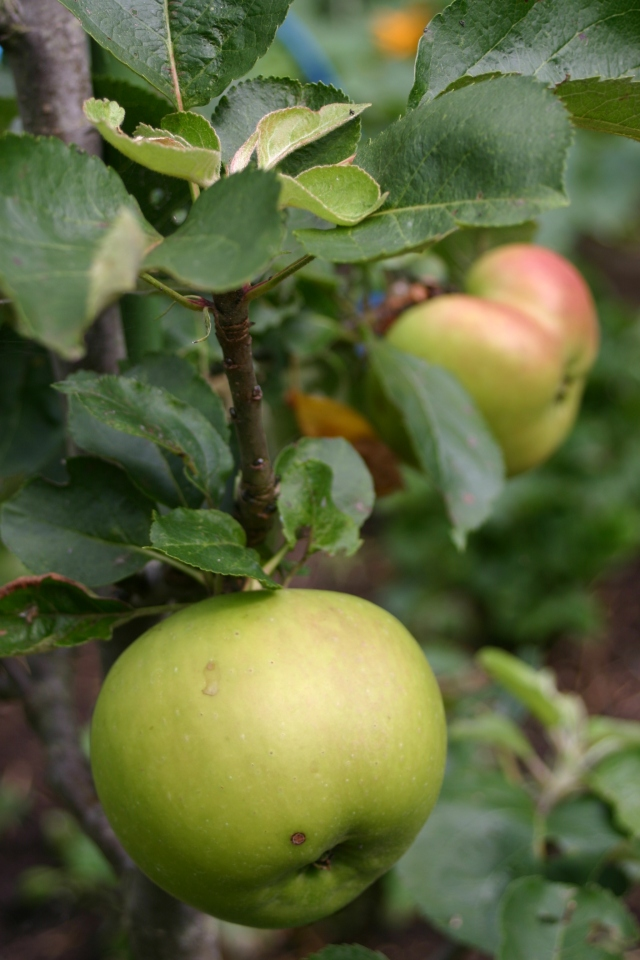 Some of the apples developing nicely in Old School Garden- but due to a late frost, flower wilt and insect attack, most of the trees are showing only a afew if any fruit.