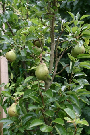 Pears on a 'super column' in the kitchen garden- looks like the first good harvest since they were planted a few years ago