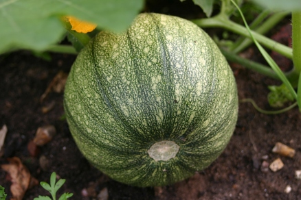 'New England Sugar Pie'- squashes pushing on..