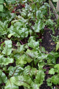 Beetroot looking good, until closer inspection revealed disaster!