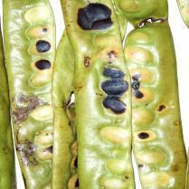 Gleditsia triacanthos- unripe seed pod