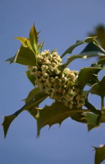 ilex a. 'Alaska' flowers