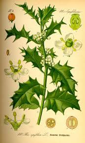 ilex aquifolium botanical