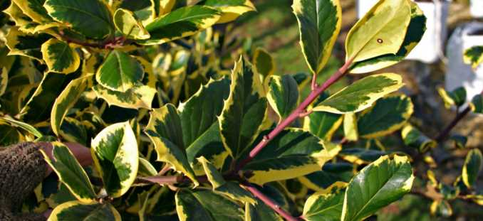 ilex aquifolium golden king 132 3246 rt16 old school garden. Black Bedroom Furniture Sets. Home Design Ideas