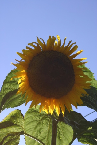 Big boy- my 15' sunflower has produced a lovely flower head