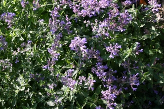 Worth shearing back- the Nepeta has regrown and given a second flush of flowers