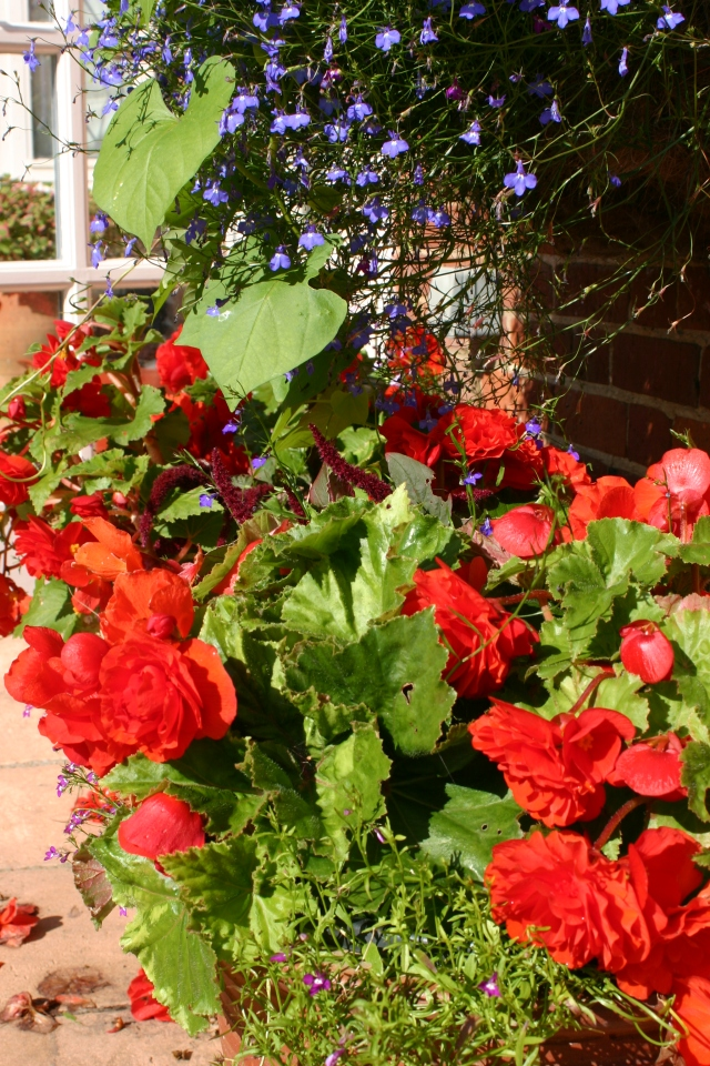 Begonias keeping the terrace colourful
