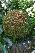 Oh dear, Box blight seems to have taken hold in a few of the topiary specimens...I will probably need to remove them