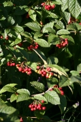 First year of berries on this maturing Cononeaster lacteus