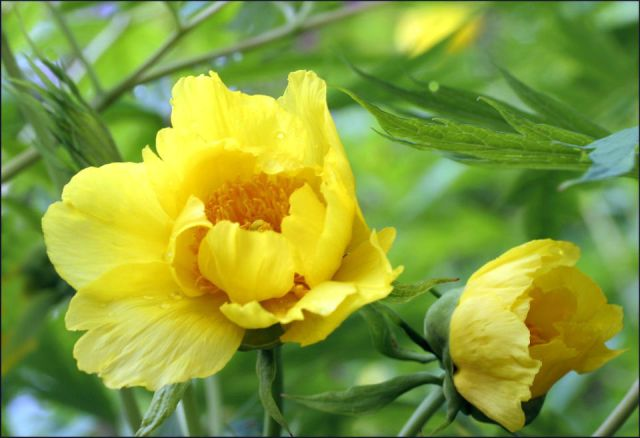 Flower of the yellow Tree Peony - can be a long time coming, but worth the wait!