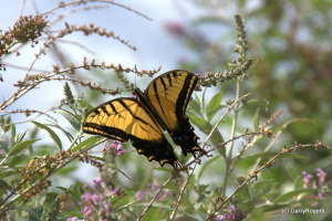 Two-tailed Swallowtail