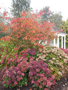 Acer + Hydrangea = Nymans in Autumn