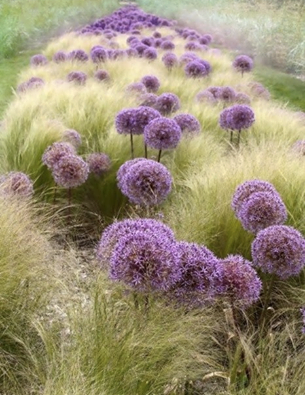 alliums and grass