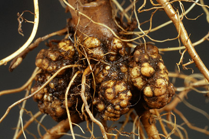 Crown Gall on apple- RHS