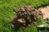 Moles everywhere- there isn't a piece of grass unaffected!