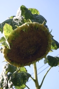 Spent force- the tallest sun flower has just about finished supplying seeds for the birds