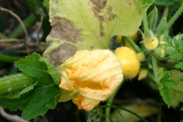 Still going- patty pan squashes