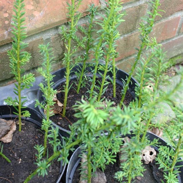 Yew cuttings