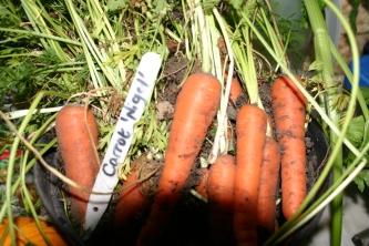 A good crop of Carrots - 'Nigel'- grown in a dustbin