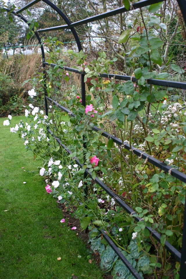 A good year for roses- I've just tied in some of the new growth on the arbour (Rosa 'Zephirine Drouhin')